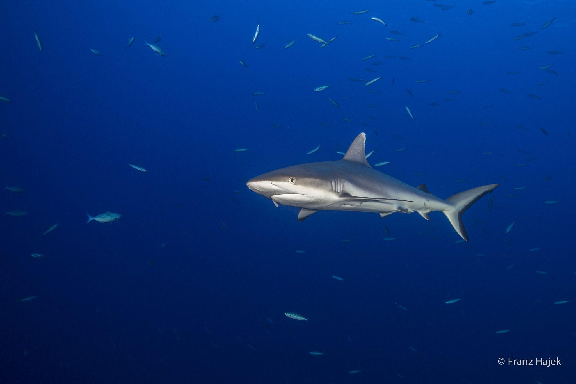 Shark 7